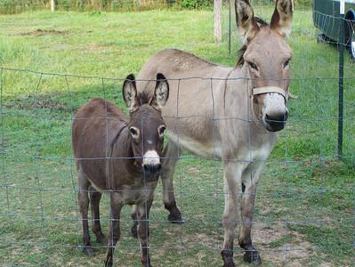 Our Quarter Horses