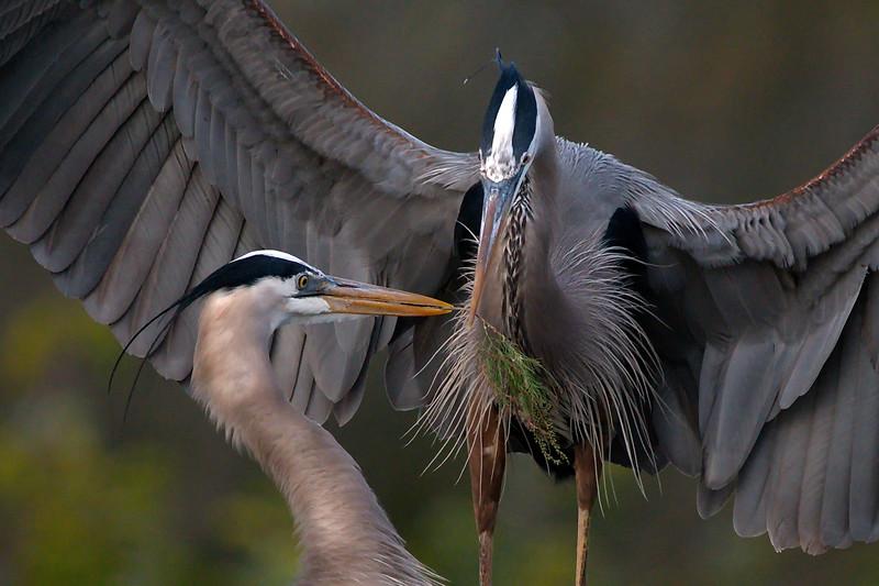 Delray Beach, Florida, Great Blue Heron, Wakodahatchee Wetlands