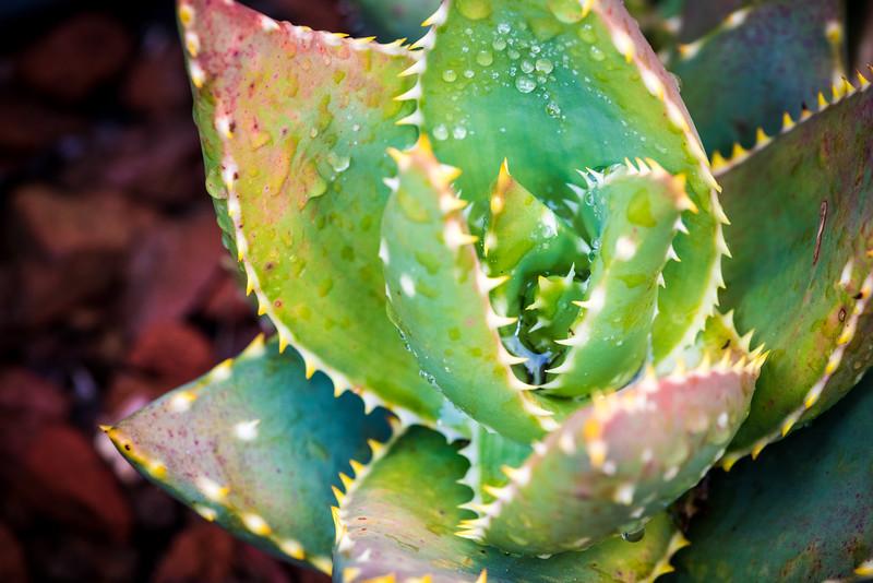 Aloe distans DSC_2169.jpg
