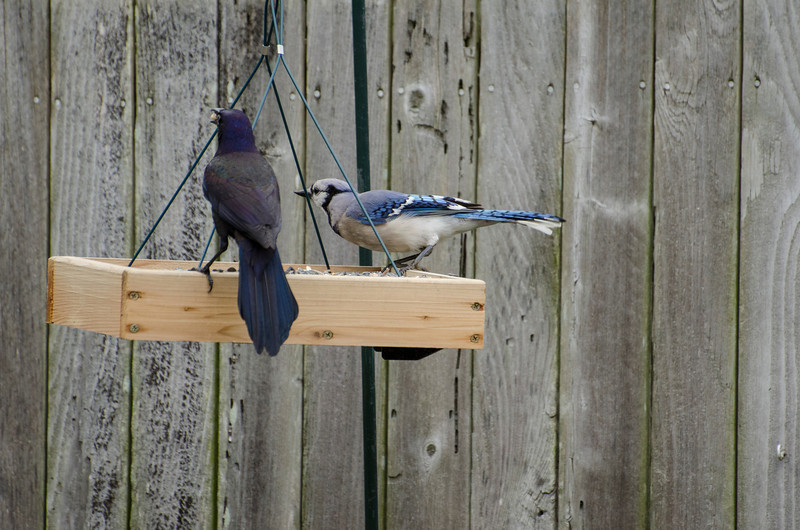 2013 Birds in the back yard_5.jpg
