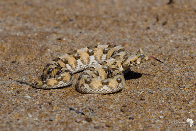Coiled Horned Viper
