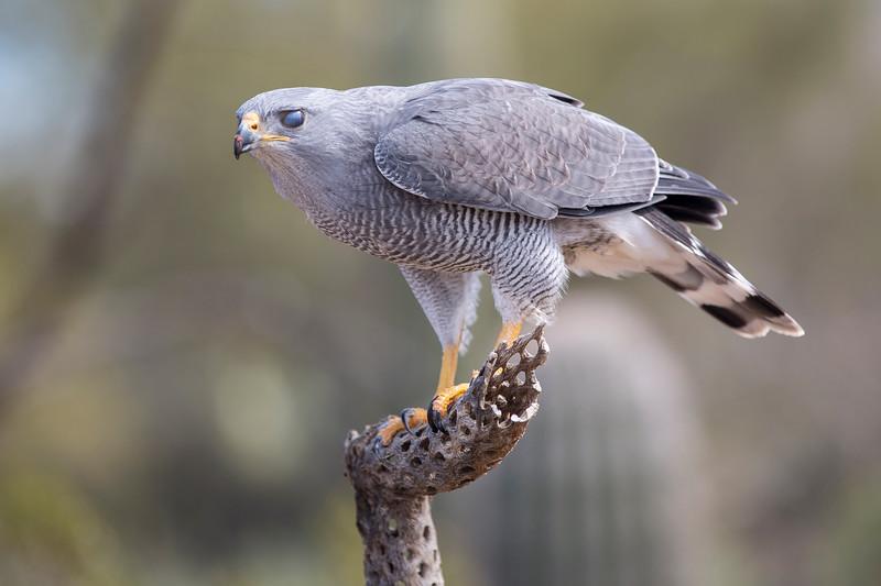 Beautiful Hawk.jpg