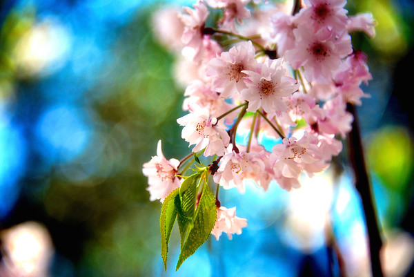 Japanese Cherry Blossoms - Japan