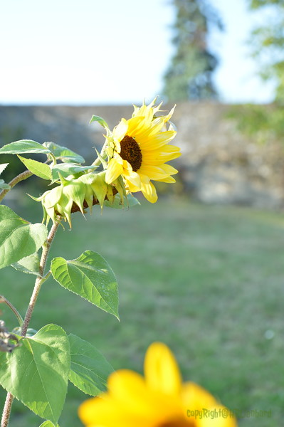 Sunflower Lonay_20092020 (10).JPG