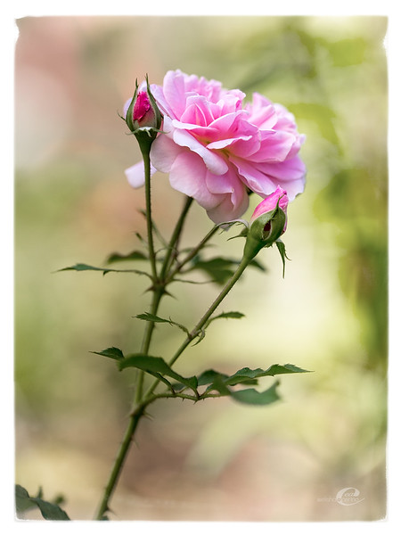 Rose+2buds.jpg
