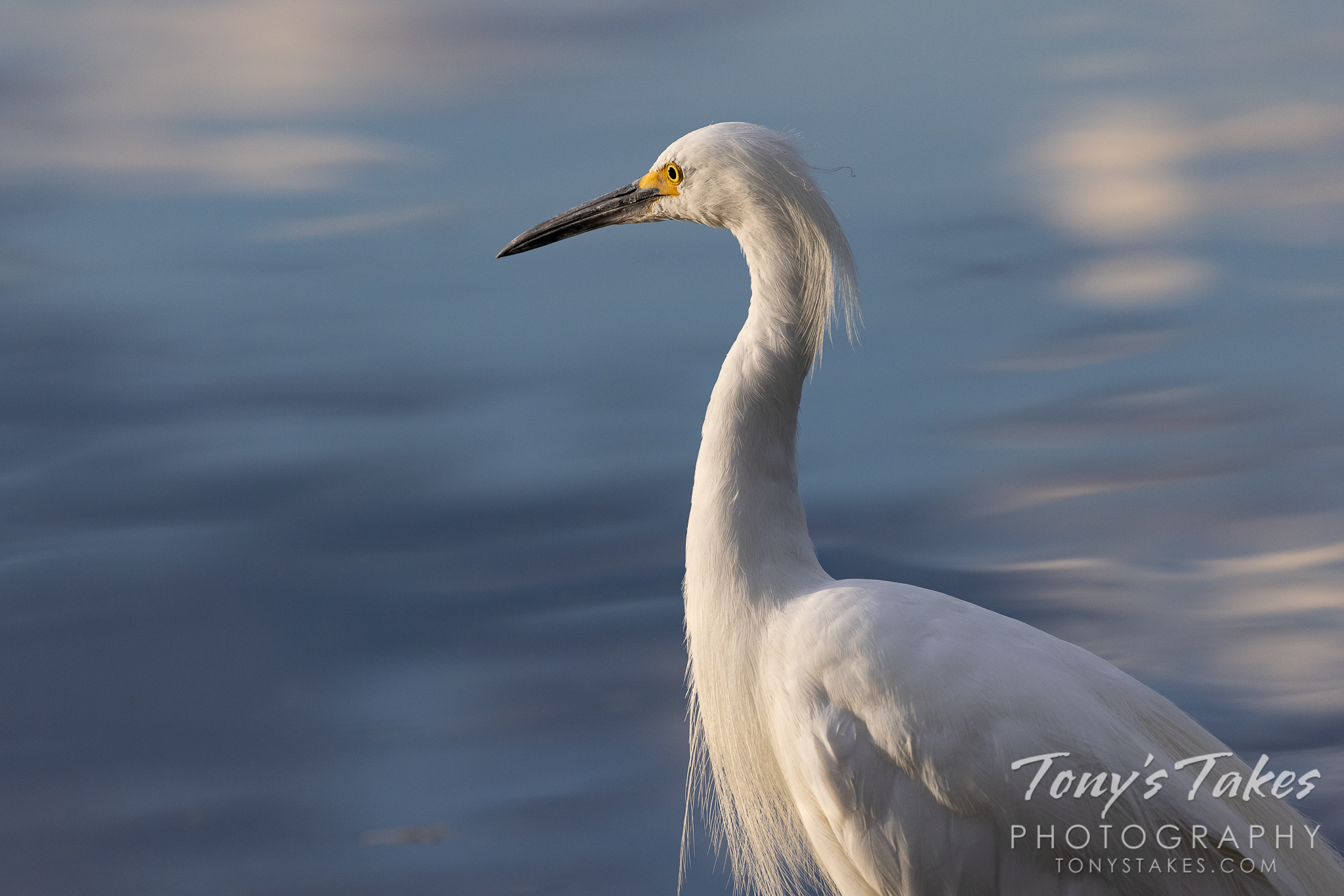 Snowy egret closeup. Canon R5, Canon EF 100-400mm f/4.5-5.6L IS II USM @ 400mm, 1/1600, f/8, ISO 640, -2/3 ev.