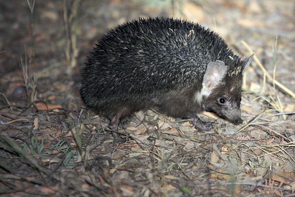 Ethiopian Hedgehog