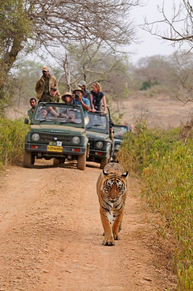 Tourists vehicles following a tiger in the tracks of Ranthambhore national park in north India