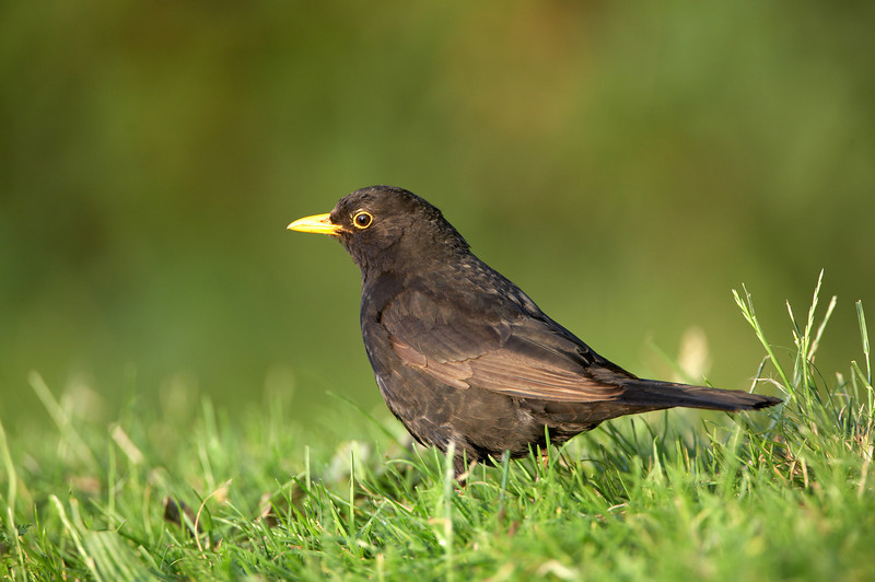 116 Blackbird - 1742.jpg
