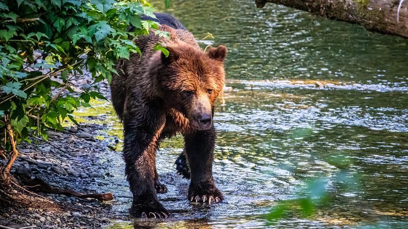 Brown Bear Scanning the River.jpg
