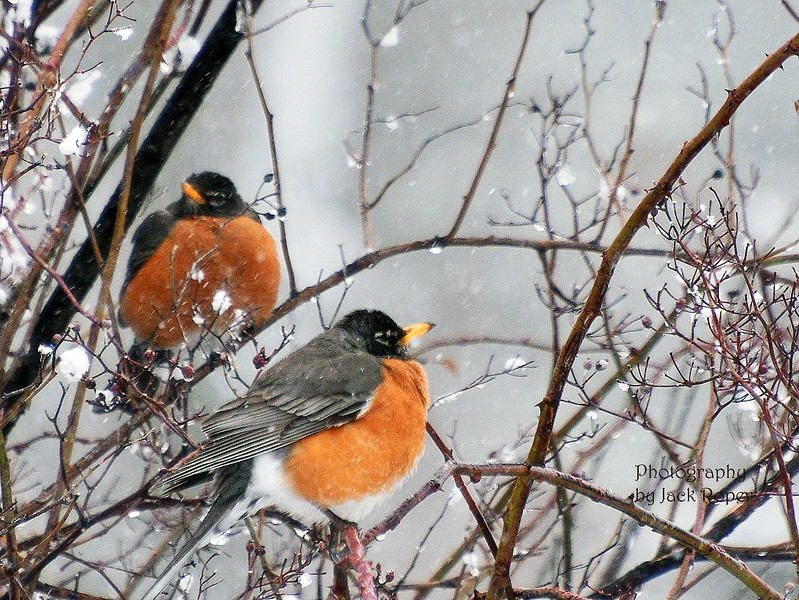 Two robins in a tree jpg.jpg
