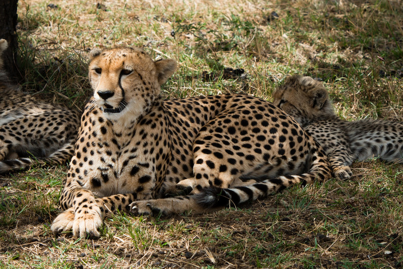 Cheetah, Serengeti