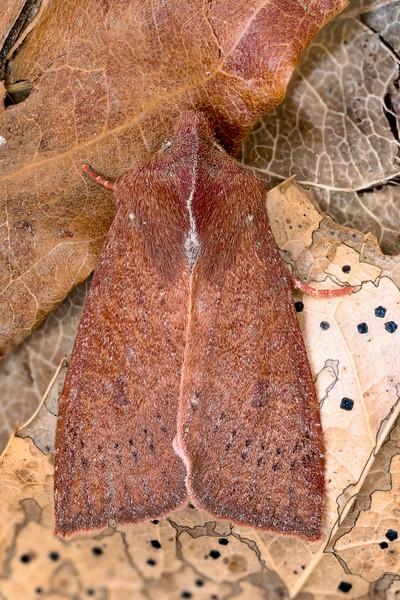 Transparent Quaker Moth