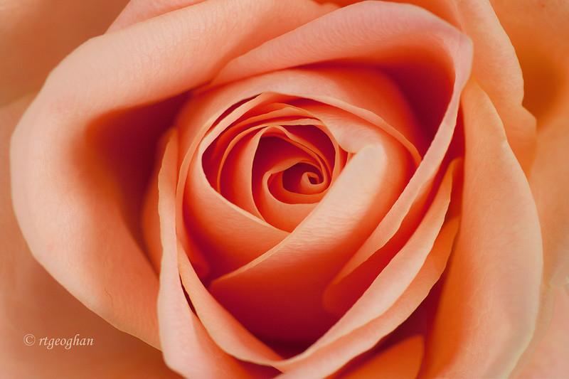 Sept 10_Peach Rose_0434.jpg