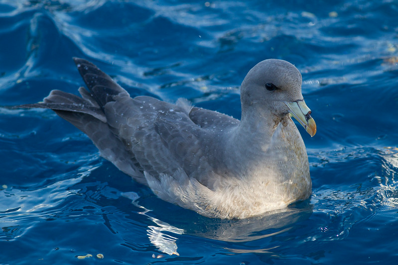 Northern Fulmar  Orange County Waters  2014 01 11-1717.CR2