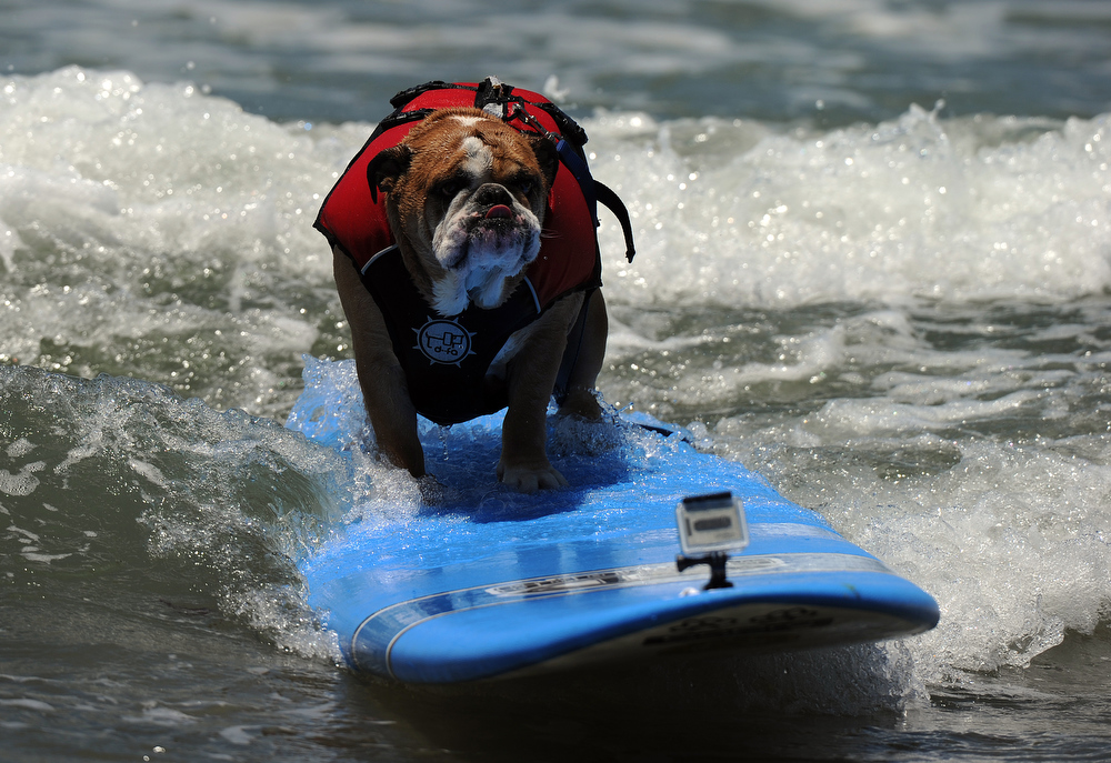 Description of . A dog competes during the 6th annual Loews Coronado Bay resort surf dog competition in Imperial Beach, near San Diego on June 4, 2011. AFP PHOTO / GABRIEL BOUYS