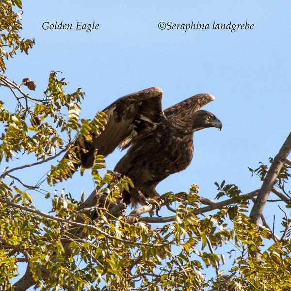 _DSC8875golden Eagle c.jpg