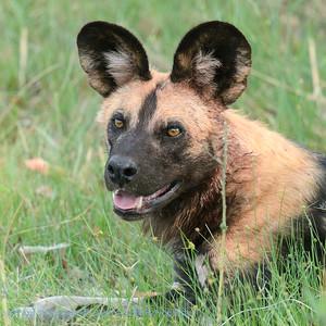 Afrikaanse Wilde hond; Botswana; Okavango; African wild dog; Lycaon pictus; Wildehond; Afrikanischer Wildhund; Lycaon