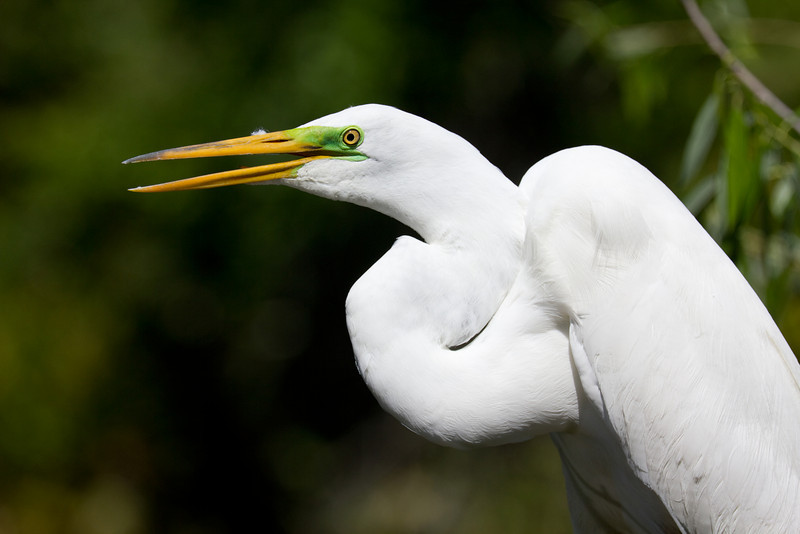 Great Egret - Gatorland, Orlando, Florida