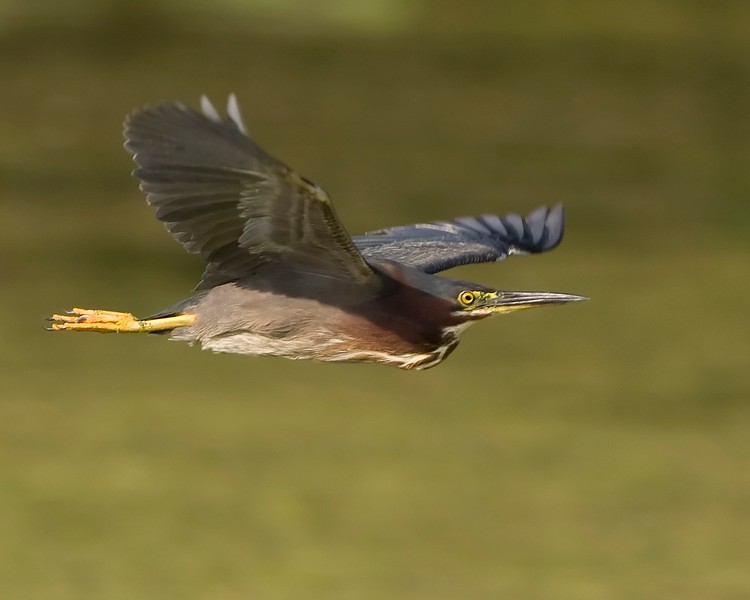 Green Heron in Flight 3.1.jpg