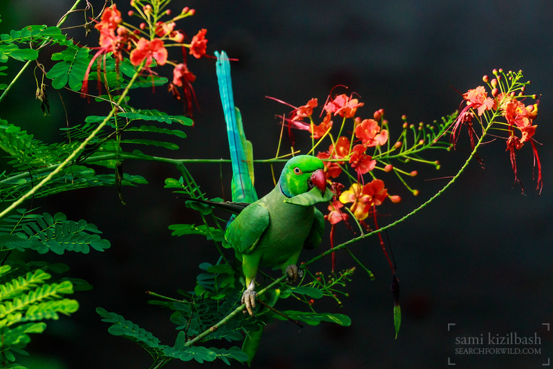 Rose-ringed Parakeet 8.jpg