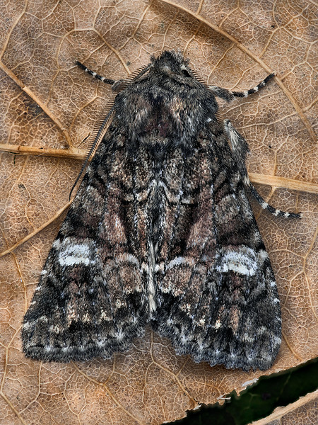Wandering Brocade Moth