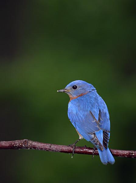 bluebird_159324783_o.jpg
