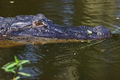 Bar B Ranch 2021 Alligator Season