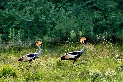 Crowned Cranes (Balearica regulorum )