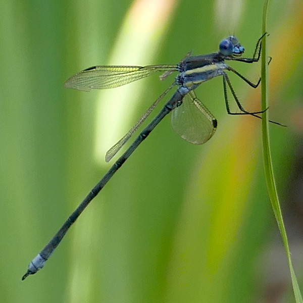 P168ArchilestesGrandis801 July 6, 2017  10:15 a.m.  P1680801 This is the Great Spreadwing, Archilestes grandis, at the pond beyond the main garden at LBJ WC.   Lestid.