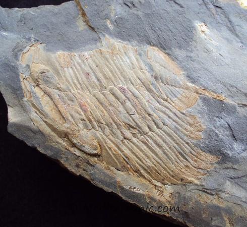 Eodalmantina sp.