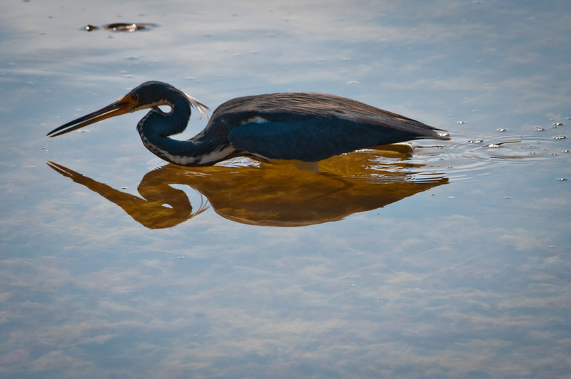 Tri-colored Heron at Ding Darling Bailey Tract