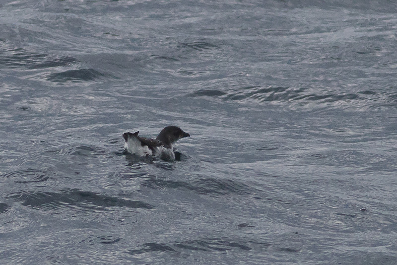 Common Diving-petrel Eaglehawk Neck, TAS September 04, 2011 IMG_8003
