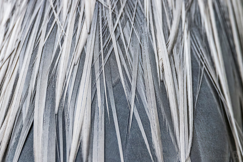 Great blue heron feather closeup