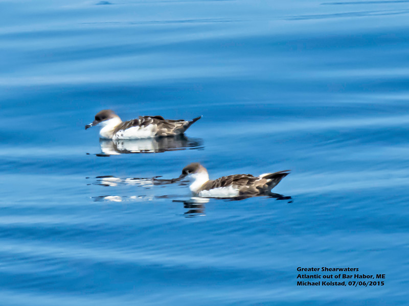 a706 930 20150725_112 3T 4 Greater Shearwaters Atlantic out of Bar Harbor 706 1146 close.jpg