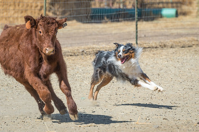 Comstock Classic ASCA Stockdog Trial 2017