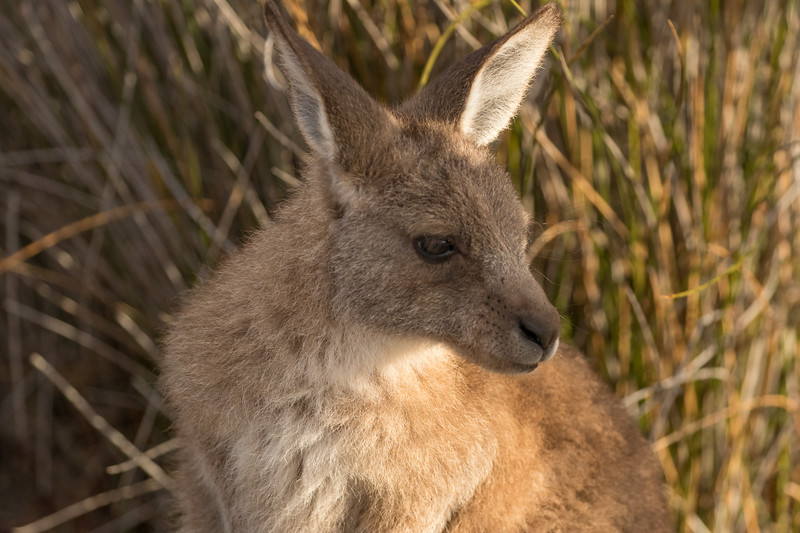 Eastern grey kangaroo