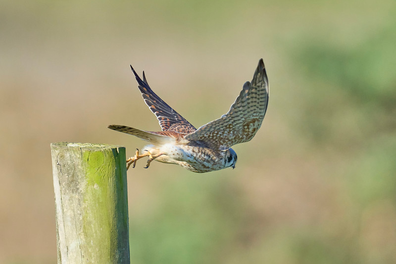 Kestrel Diving for Food