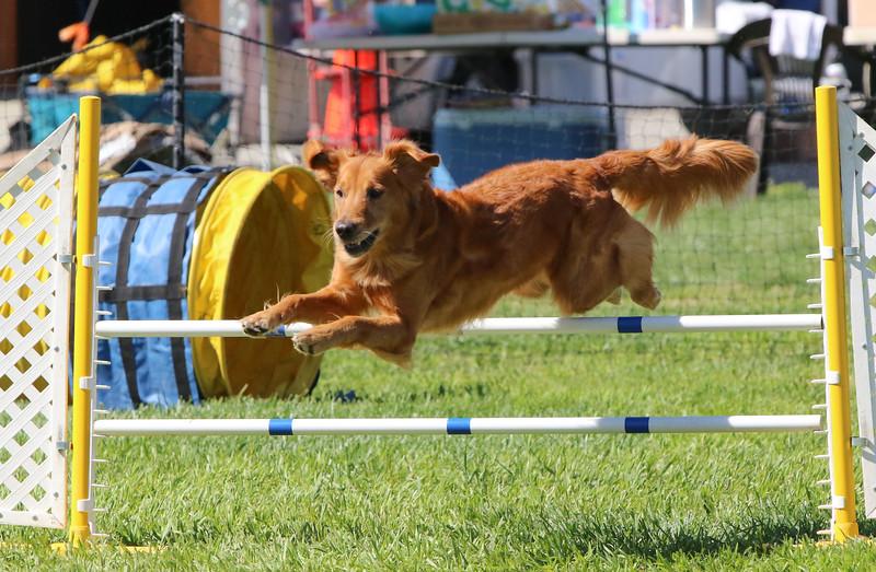 3-31-2018 Shetlant Sheepdog-3303.jpg