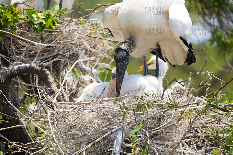 Wood Stork & Nestlings