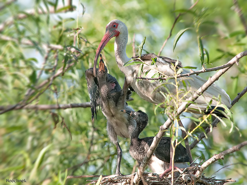 A proud Ibis parent with her 2 adolescent fledglings