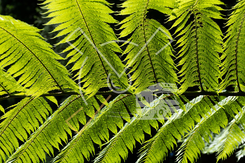 Dicksonia antarctica (soft tree fern, man fern) is a species of evergreen tree fern native to eastern Australia, here invading the vegetation on the Azores Island of San Jorge