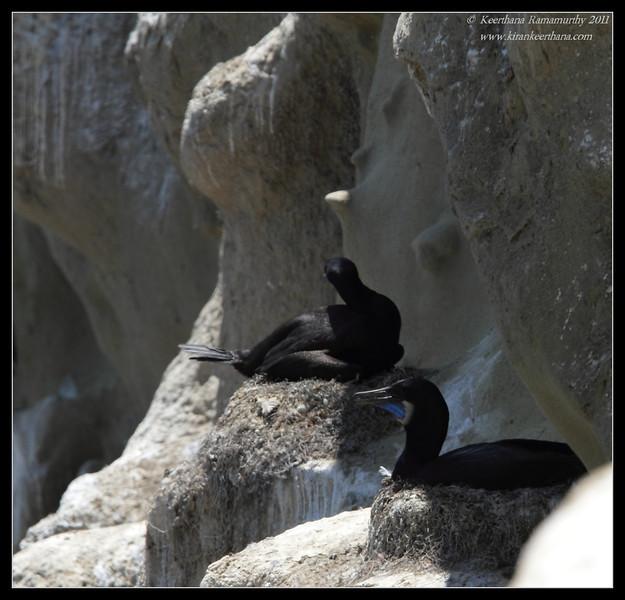 Brandt's Cormorants sitting on the nest, La Jolla Cove, San Diego County, California, June 2011