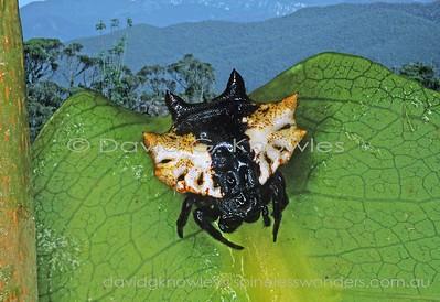 New Guinea Araneidae (Orbweaving Spiders)