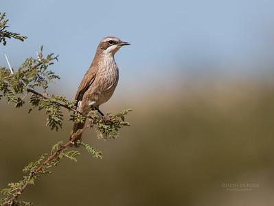 Herero Chat (Namibornis herero)