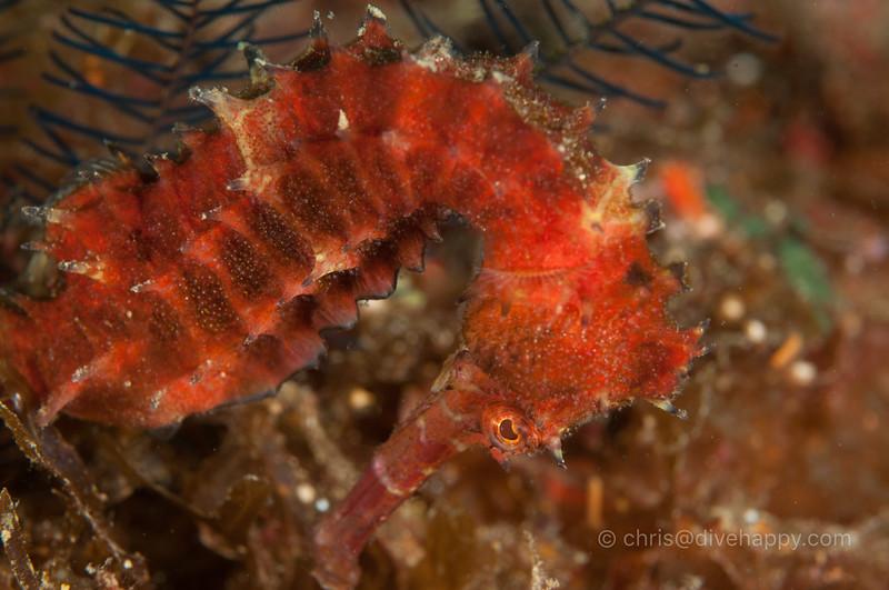 seahorse-malapascua.jpg