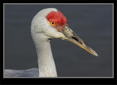 Coots, Cranes, Gallinules, Limpkin, Rails