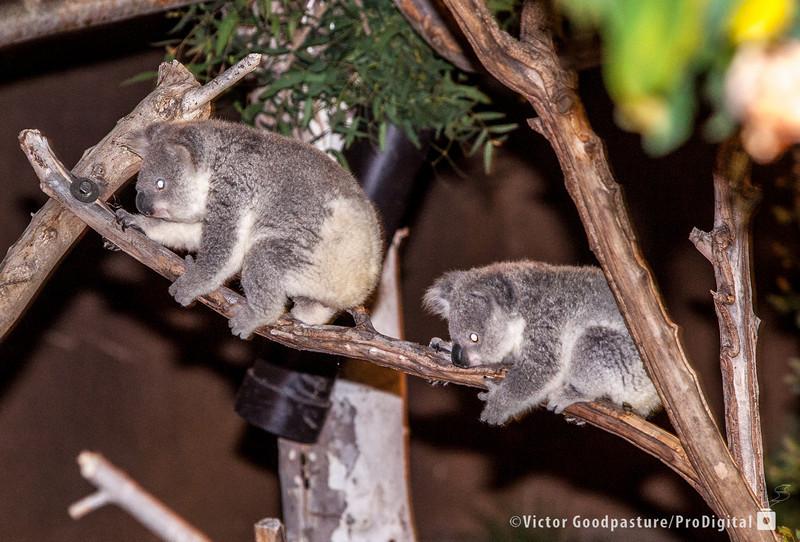 Koalafornia-40.jpg