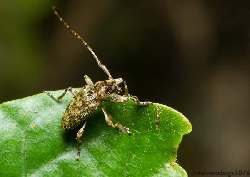 Longhorn beetle (Cerambycidae) from Monteverde, Costa Rica.