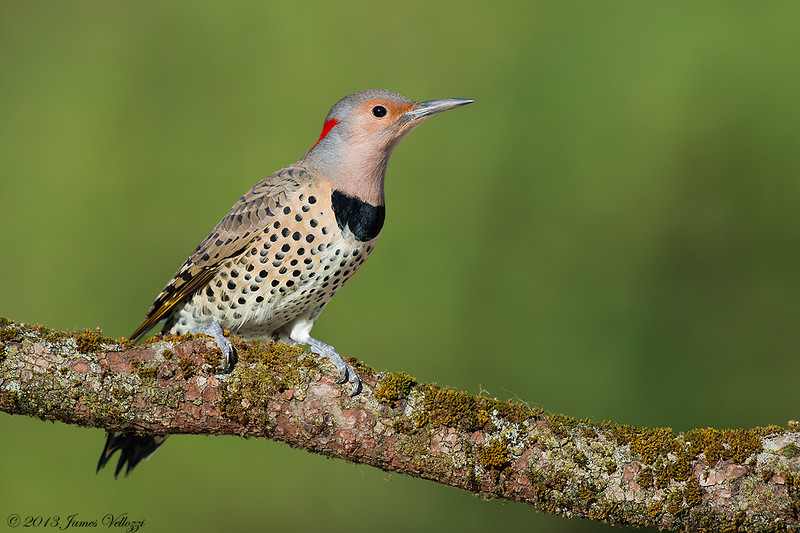 Northern Flicker, Colaptes auratus